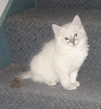 Blue Lynx colorpoint kitten