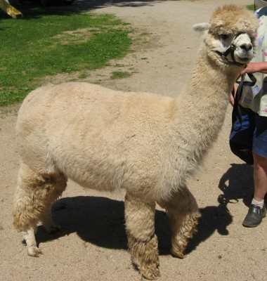 Queenie just before shearing