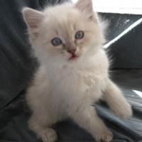 Lynx - Blue Lynx Colorpoint Kitten