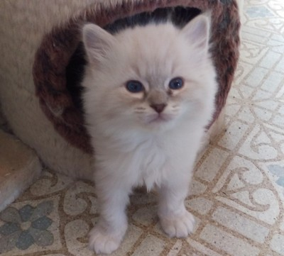Lynx mitted boy named Sully (sold)