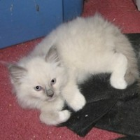 Blue Point Mitted